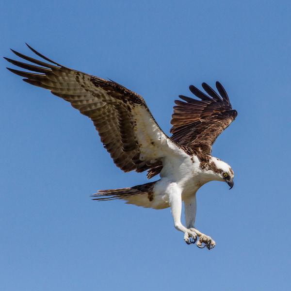 osprey safe landing Andy Morffew