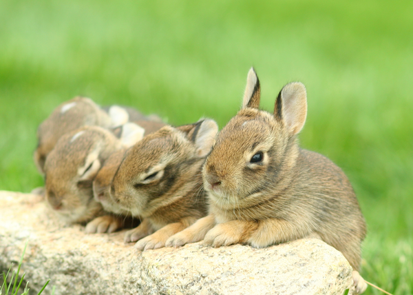 baby bunnies homepage cropped