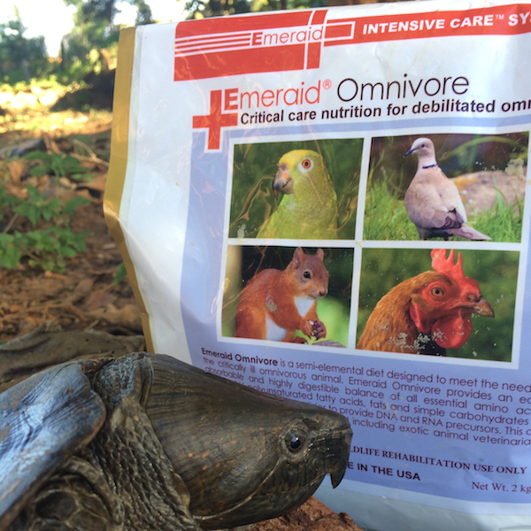 big headed turtle w Emeraid sheena koeth