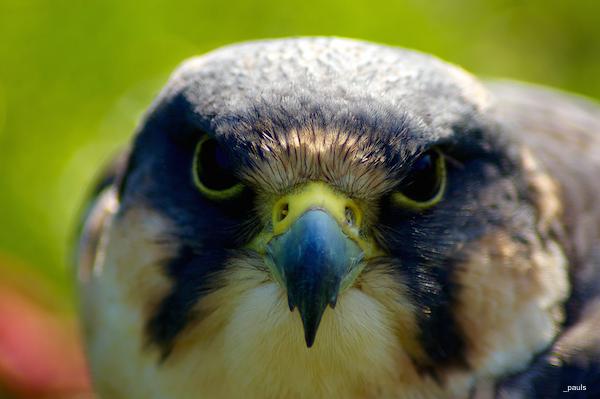 falcon _pauls