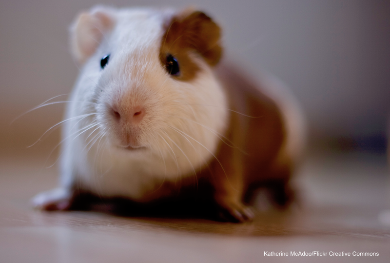 guinea-pig-katherine-mcadoo.jpg