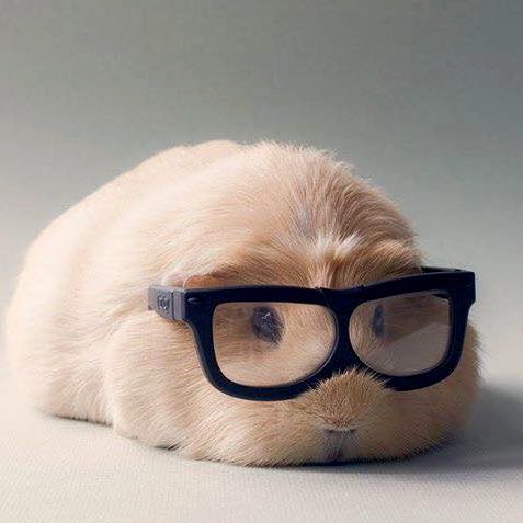 guinea-pig-with-glasses.jpg