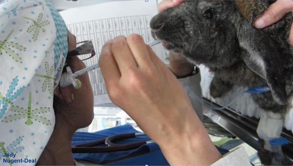 intubation rabbit Nugent-Deal