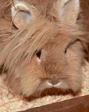 lionhead rabbit-curtis