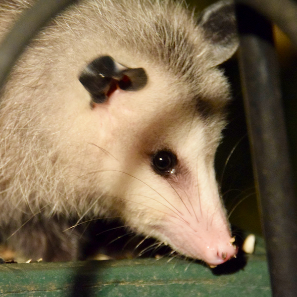 Can the opossum contract rabies virus?