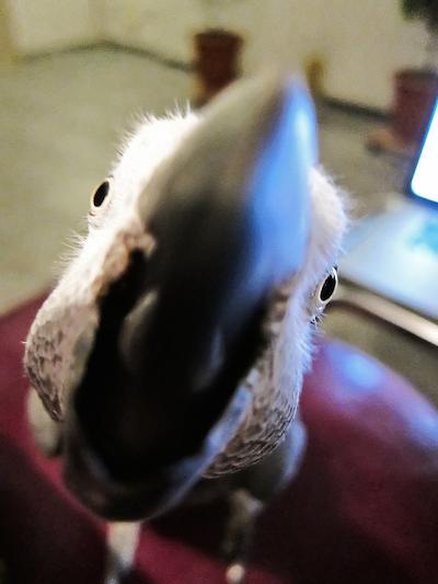 Grey parrot eating camera