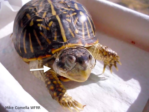 Aural abscesses in ornate box turtle