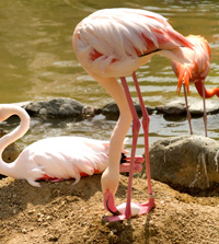Flamingo turning egg