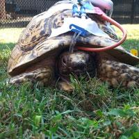tortoise cvc grass