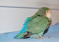 fluffed lovebird jill murray