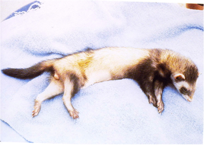 Ferret E2 toxicity