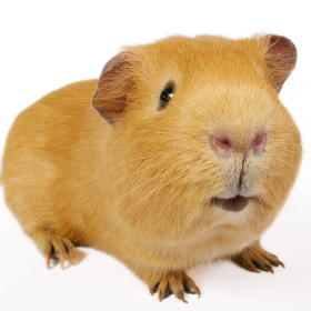 guinea pig white background cropped square