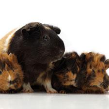 guinea pig mom with children