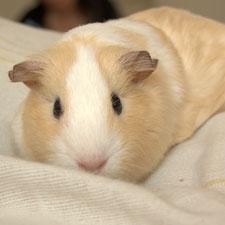 guinea pig tim parkinson