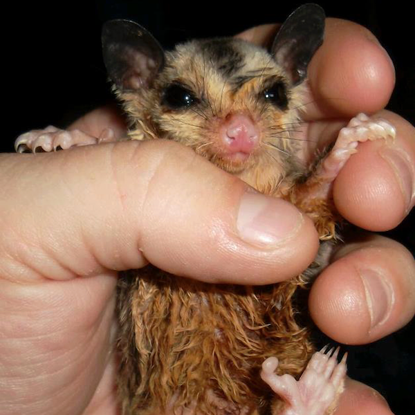sugar glider brown