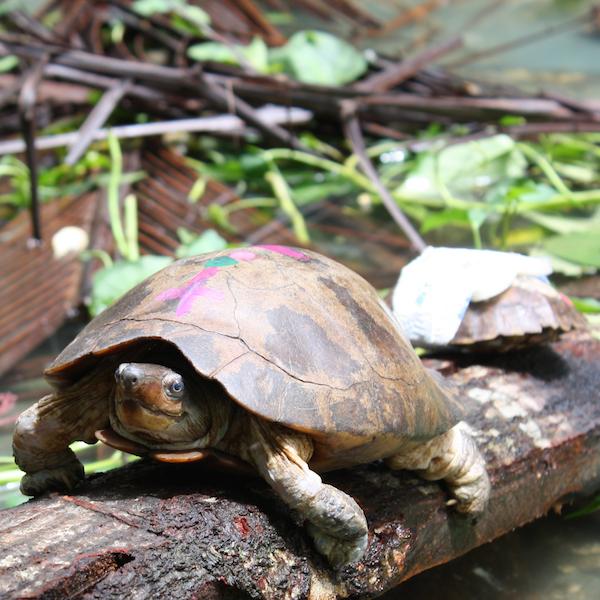leytensis in holding pond