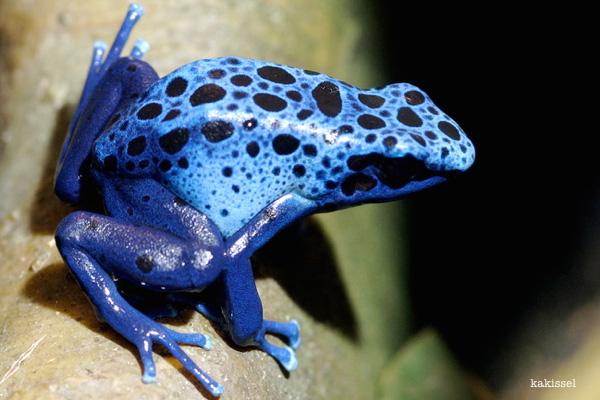 dart frog by kakissel