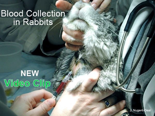 Blood collection in rabbits