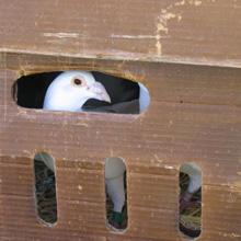 pigeon in box closeup