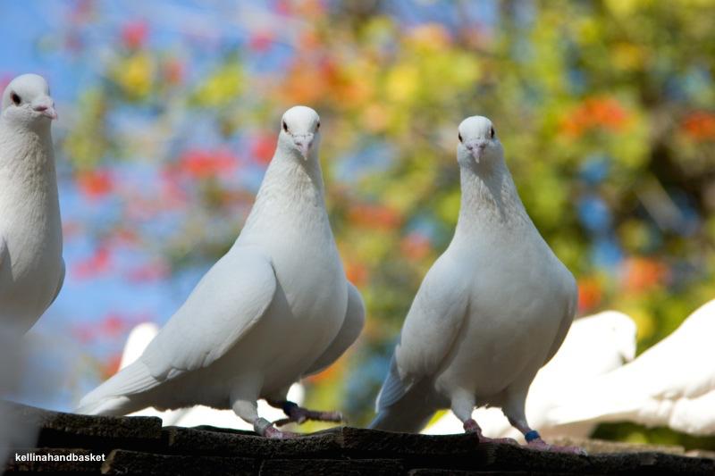 racing pigeons kellinahandbasket