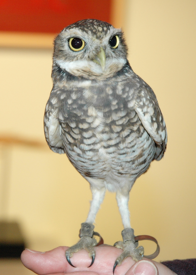 burrowing_owl_copy.png