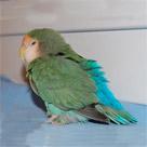 Fluffed lovebird