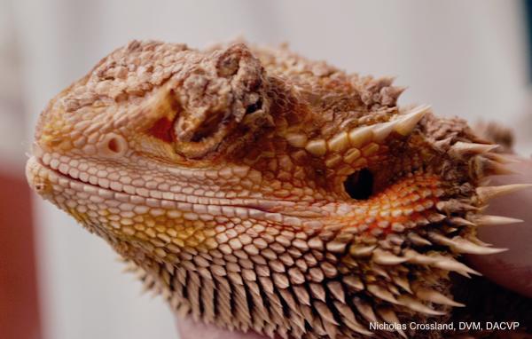 Bearded Dragon Infectious Disease Slideshow